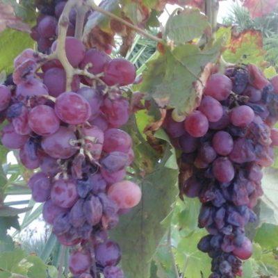 Bunches Grapes | La Zahurda