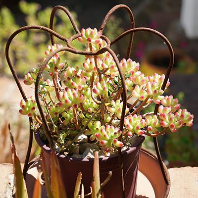 Succulent | La Zahurda